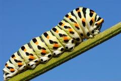 毛虫swallowtail 免版税库存照片