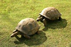 毛里求斯乌龟 免版税库存图片