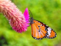 毛里求斯在Celozja的黑脉金斑蝶 图库摄影