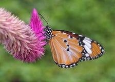 毛里求斯在Celozja的黑脉金斑蝶 免版税库存照片