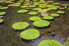 毛里求斯庭院,植物的水池野生生物 库存照片