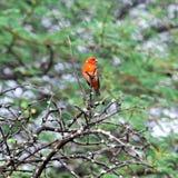 毛里求斯,马达加斯加Fody (Foudia madagascariensis) 免版税图库摄影