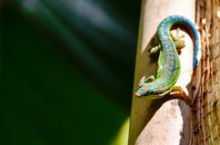 从毛里求斯-绿色壁虎的野生生物 图库摄影