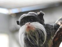绢毛猴 免版税库存照片