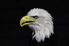 民族自尊心-美国白头鹰 库存照片