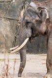 暴民Bis男性大象领导与两颗象牙的 免版税库存图片