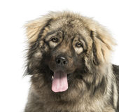 气喘一只南斯拉夫的牧羊犬的特写镜头, 1岁 免版税库存照片