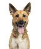 气喘一只比利时的牧羊犬的特写镜头,看照相机 免版税库存图片