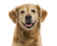 气喘一只的金毛猎犬的特写镜头, 11岁,被隔绝 图库摄影