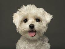 气喘一只马尔他的小狗的特写镜头,看照相机 库存图片