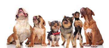 气喘和查寻在白色背景的六条逗人喜爱的狗 免版税库存图片