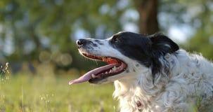 气喘在慢转以后的纯血统狗 股票录像