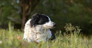 气喘在慢转以后的纯血统狗 影视素材