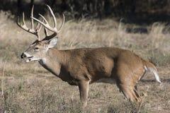 气喘在车轮痕迹期间的大白尾鹿大型装配架 免版税库存照片