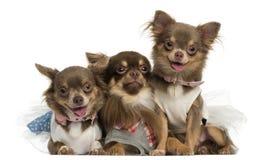 气喘小组穿戴的奇瓦瓦狗,看照相机 免版税库存图片