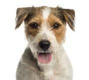 气喘教区牧师罗素的狗的特写镜头,看照相机 库存照片