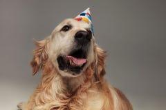 气喘有查寻生日的帽子的拉布拉多头  免版税库存图片