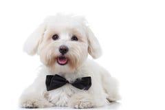 气喘白色bichon小狗佩带的bowtie 库存图片