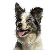 气喘的博德牧羊犬的特写镜头,看,隔绝 免版税库存图片
