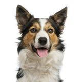气喘的博德牧羊犬,面对,隔绝在白色 免版税库存照片