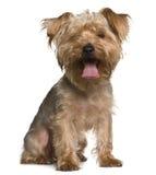 气喘的坐的狗约克夏 库存照片