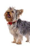 气喘的狗约克夏 免版税库存照片