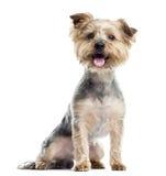 气喘的约克夏狗,坐,被隔绝 库存照片