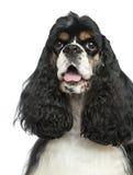气喘的美国美卡犬的特写镜头,被隔绝 图库摄影