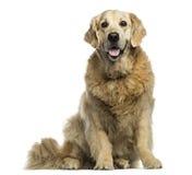 气喘的金毛猎犬,坐,被隔绝 库存图片