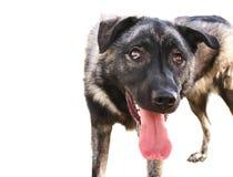 气喘舌头的狗 免版税库存照片