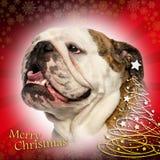 气喘,在圣诞节背景的英国牛头犬的特写镜头 库存照片