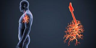 气管徒升有最基本的身体侧面视图 免版税库存图片