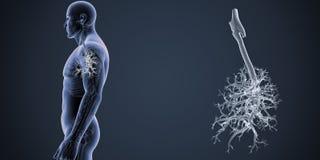气管徒升有最基本的身体侧面视图 库存图片