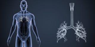 气管徒升有最基本的身体先前视图 库存图片