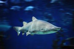 水下公牛鱼海洋的鲨鱼 库存照片