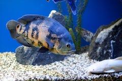 水下大蓝色的鱼 免版税库存照片