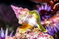 水下峨螺的蜗牛 库存照片