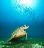 水下深海的乌龟 库存照片