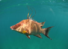 水下猪鱼的游泳 库存图片