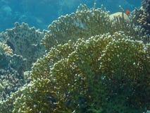 水下珊瑚红色礁石的海运 图库摄影