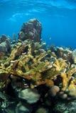 水下珊瑚elkhorn的礁石 免版税库存照片