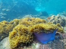 水下的下潜,美丽的海葵 库存照片