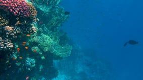 水下的五颜六色的热带鱼和美好的珊瑚 股票录像