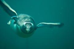 水下的企鹅 免版税库存图片