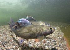 水下的摄影河鳟Thymallus thymallus 图库摄影