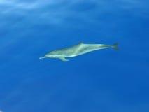 水下的海豚 库存照片