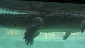 水下的看法游泳的鳄鱼,动物园场面 股票录像