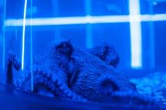 水下的章鱼的画象 免版税库存照片