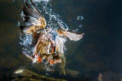 水下的翠鸟 免版税库存图片