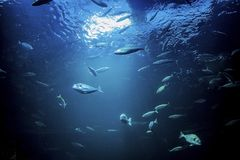水下的阳光通过与鱼的水表面 库存照片